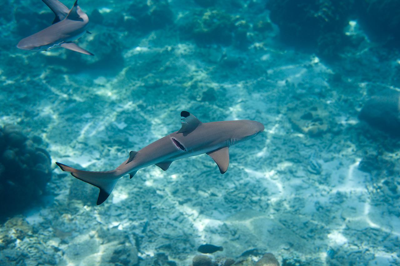 Blacktip reef shark with propeller cuts