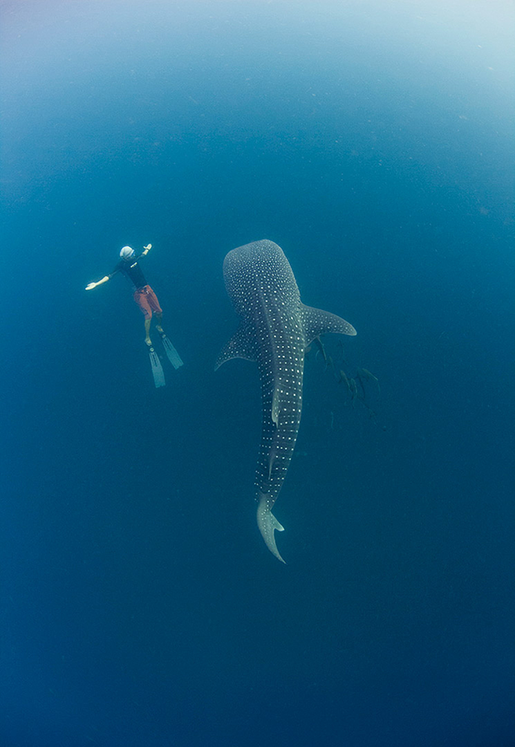 Freediver and Whale Shark