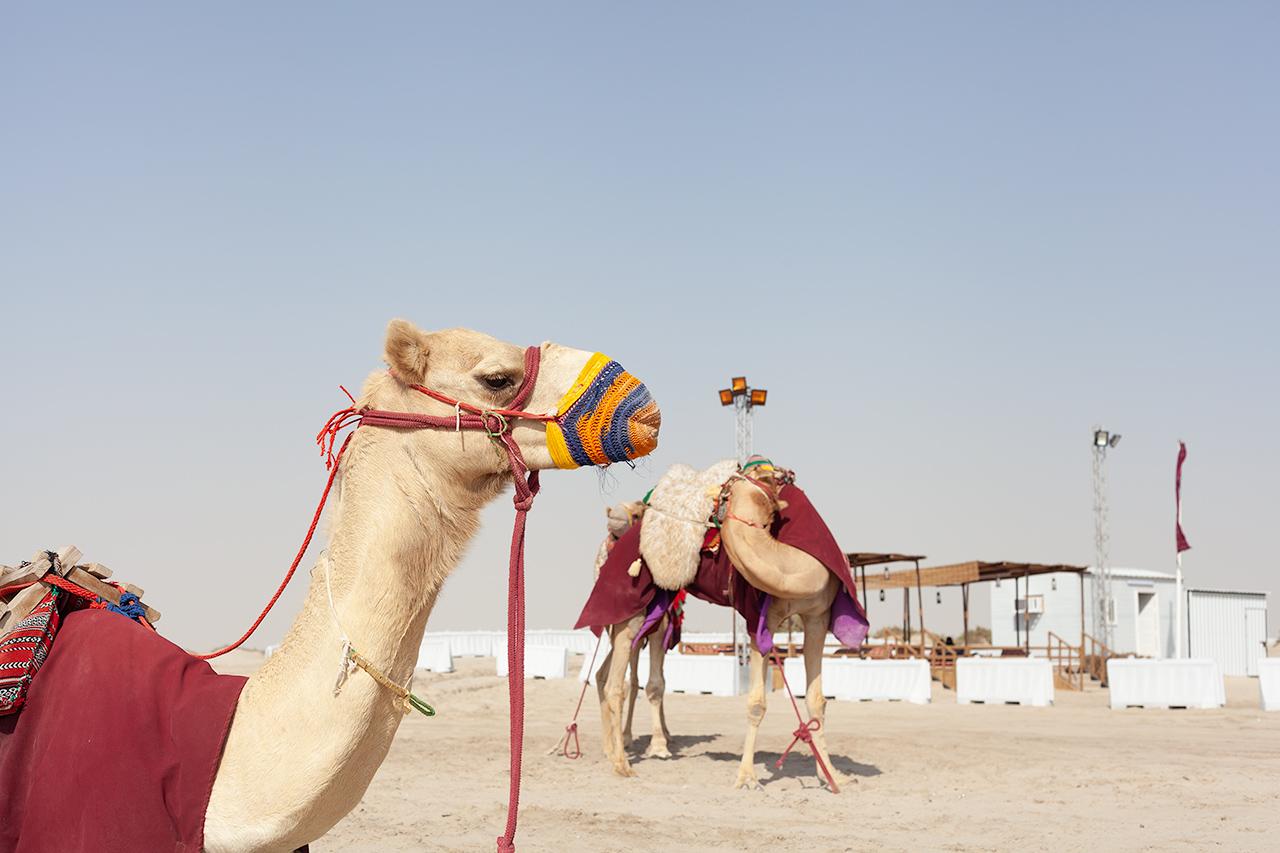 Camels | Qatar