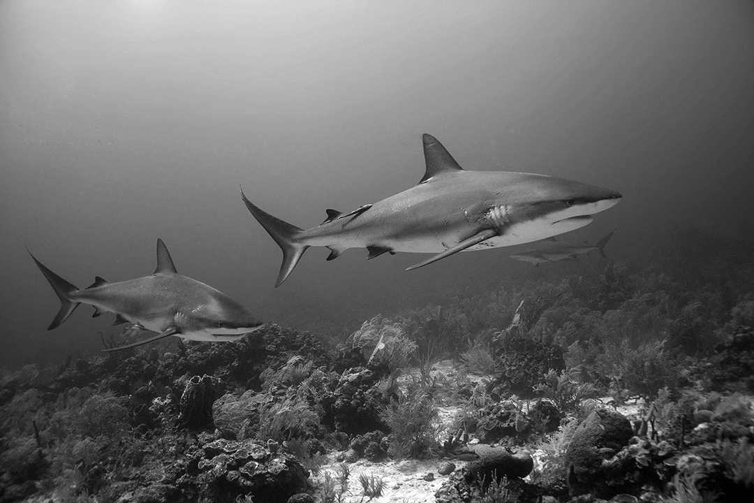 Underwater photo of Caribbean reef sharks