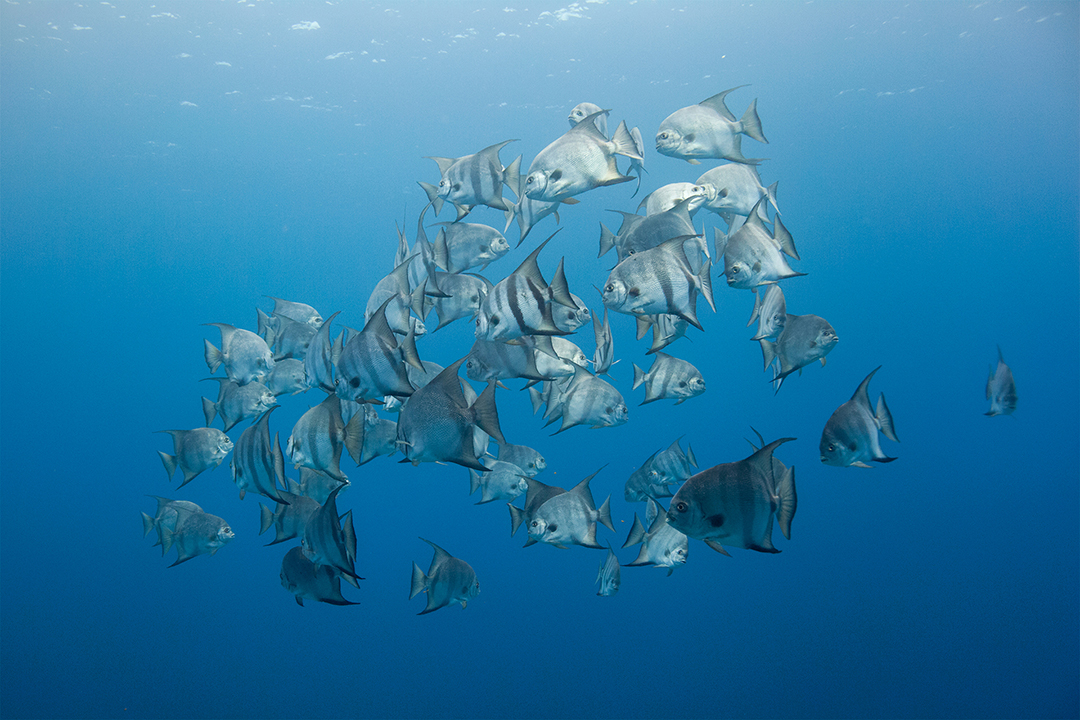 Schooling Spadefish in the Caribbean, Roatan, Honduras