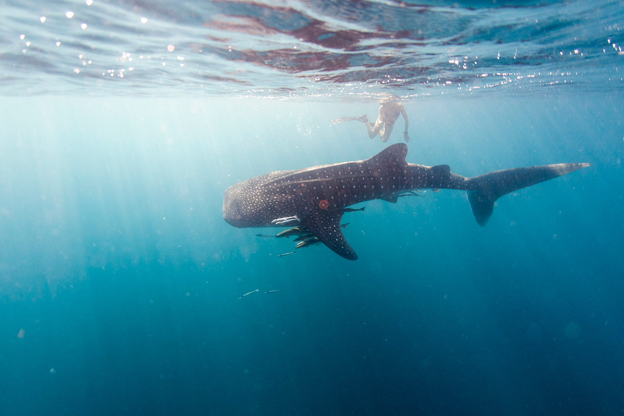 Underwater photo of a whaleshark and a girl