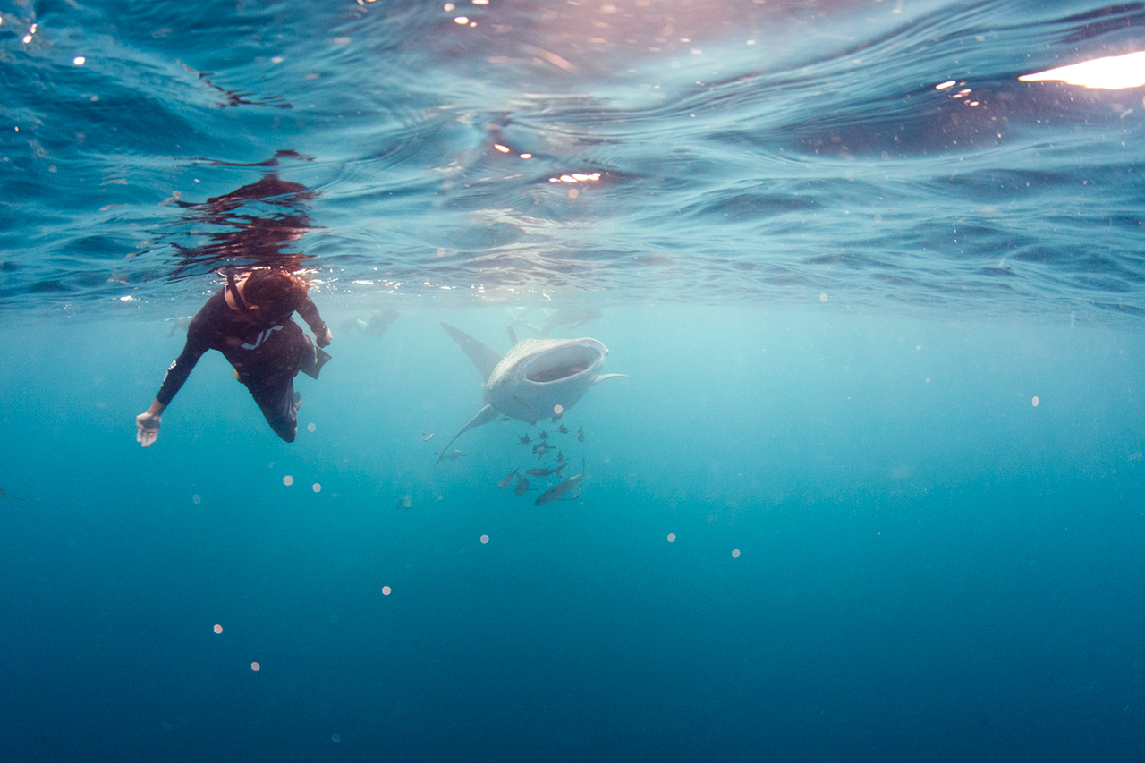 Underwater photo of a whaleshark with a diver