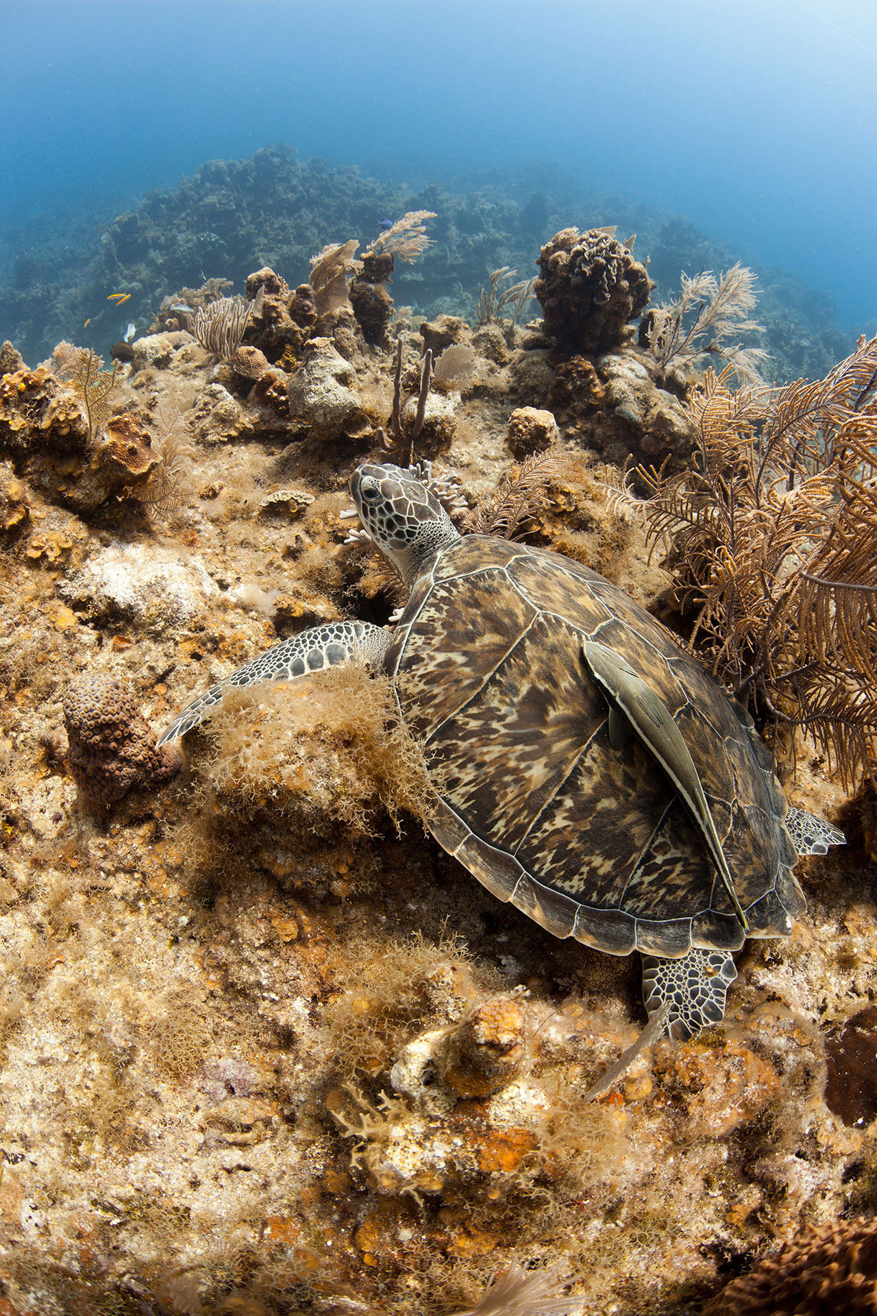 A hawksbill turtle rests on a reef in the Caribbean