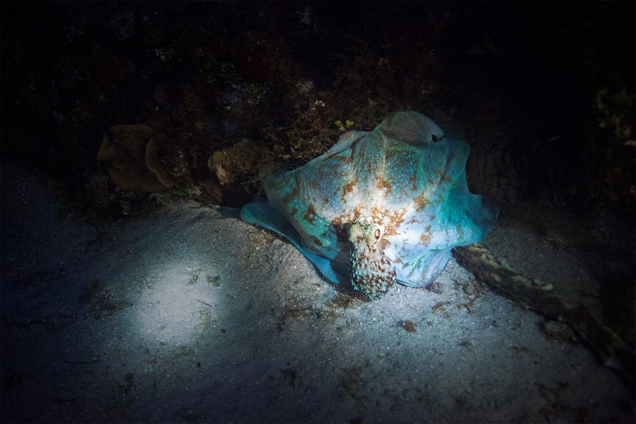 Octopus at night
